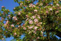 Apfelbaum, Apfelbaumblüten,