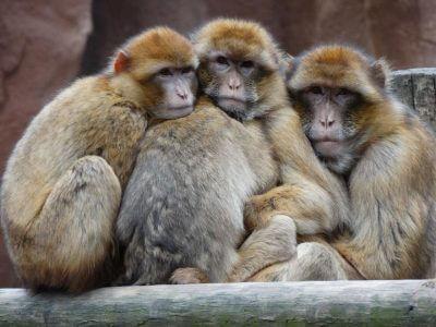 mehrere Affen